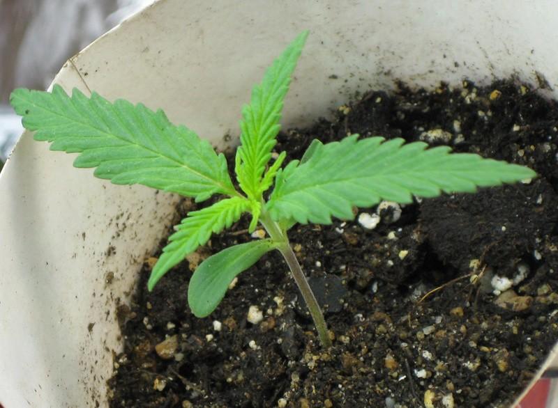 Конопля когда начинает расти марихуана сколько держится в организме