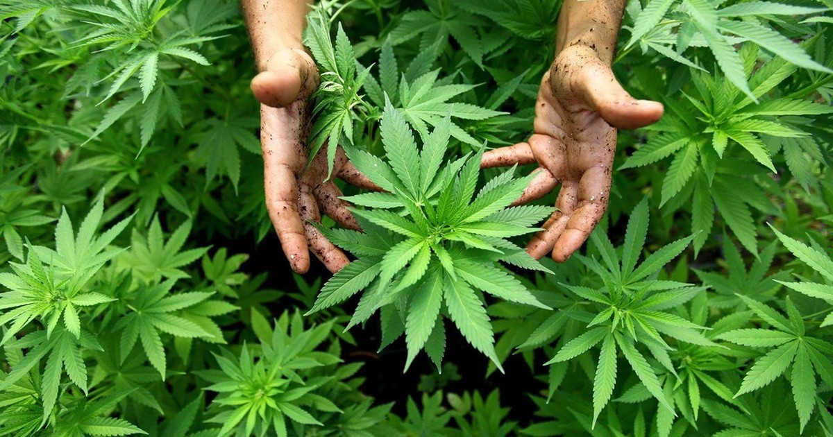 Эмфизема марихуана волгоград марихуана купить